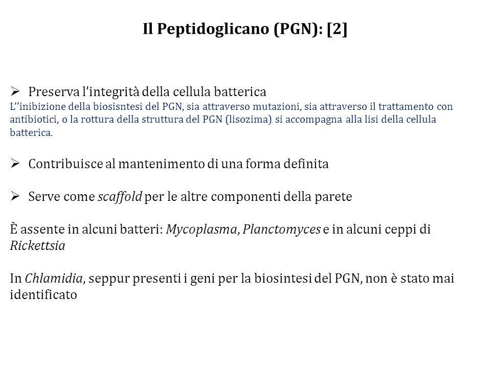 Il Peptidoglicano (PGN): [2]